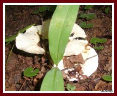 какие грибы в июле в подмосковье 4